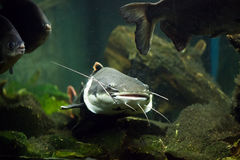 Catfish. And other fish in the aquarium royalty free stock photo