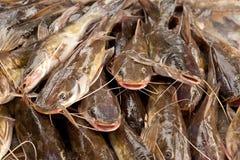 Catfish Royalty Free Stock Images