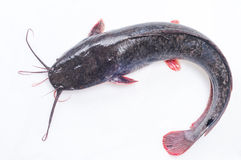 Catfish. On a separate white Stock Image