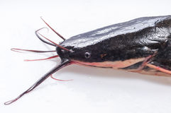 Catfish Royalty Free Stock Photo