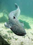 The Catfish (Silurus Glanis). Stock Images