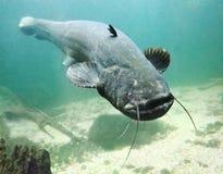 The Catfish (Silurus Glanis). Underwater photo big Catfish (Silurus Glanis). Trophy fish in Hracholusky Lake - Czech Republic, Europe stock photography
