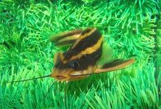 Catfish striped. (Platidoras costatus) in aquarium Stock Photography