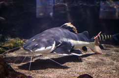 Catfish. Swimming in freshwater tank royalty free stock images