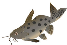 Catfish synodontis (Synodontis ocellifer). It lives in West Africa and is an interesting aquarium fish Stock Photography