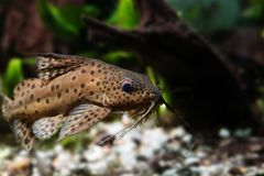 Catfish three pair of barbels macro view. Synodontis nigriventris blotched upside-down african predator fish, brown skin Royalty Free Stock Photo