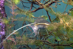 Catfish. Underwater catfish, pikefish in polish water Royalty Free Stock Photography