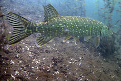 Catfish. Underwater catfish, pikefish in polish water Royalty Free Stock Images
