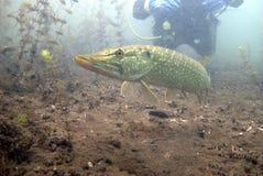 Catfish. Underwater catfish, pikefish in polish water Stock Images
