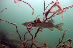 Catfish. Underwater catfish, pikefish in polish water Stock Photo