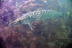 Catfish. Underwater catfish, pikefish in polish water Stock Photos