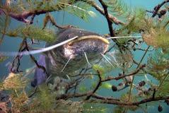 Catfish. Underwater catfish, pikefish in polish water Stock Image