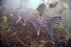 Catfish. Underwater catfish in polish water Royalty Free Stock Photo
