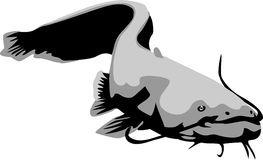 Catfish. Wels catfish - fish illustration in grayscale Royalty Free Stock Photography