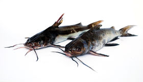 Catfishes Royalty Free Stock Photo