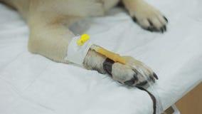 Cathéter dans la patte Chien de roquet dans une clinique vétérinaire banque de vidéos