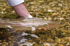Cath and release. Rainbow trout is releasing to the mountain river , Slovenia Stock Photo