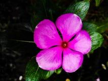 Catharanthus Стоковая Фотография RF