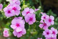 Catharanthus Roseus ή λουλούδι βιγκών Στοκ Φωτογραφίες