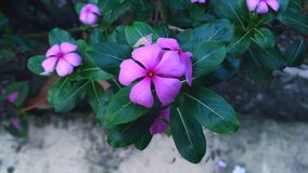 Catharanthus Roseus (λουλούδι Nayontara) Στοκ φωτογραφία με δικαίωμα ελεύθερης χρήσης