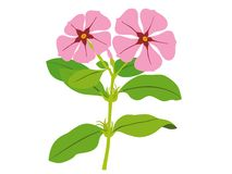 Catharanthus roseus Stock Photos