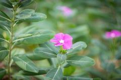 Catharanthus roseus Fotografia Royalty Free
