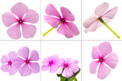 Catharanthus Roseus Royalty Free Stock Images