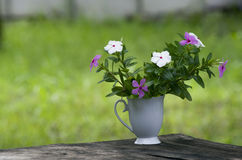 Catharanthus roseus in coffee cup Royalty Free Stock Images