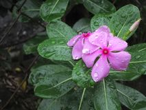Catharanthus roseus, commonly known as the Madagascar periwinkle, rose periwinkle, or rosy periwinkle. Is a species of flowering plant in the dogbane family Stock Images