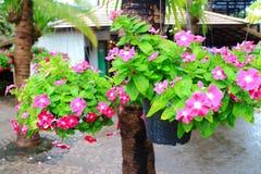 Catharanthus roseus Stock Photography