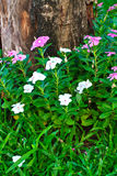 Catharanthus roseus and dead trees Stock Image