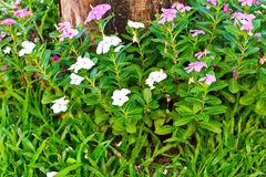 Catharanthus roseus and dead trees Stock Photos