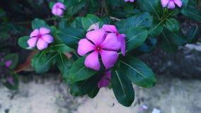 Catharanthus Roseus (den Nayontara blomman) Royaltyfri Fotografi