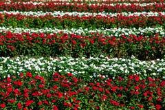 Catharanthus roseus flowers Royalty Free Stock Photos