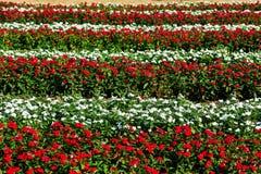 Catharanthus roseus flowers Royalty Free Stock Image