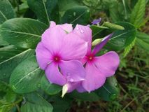 Catharanthus roseus flowers Royalty Free Stock Images