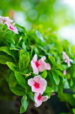 Catharanthus roseus G. Don. Stock Image
