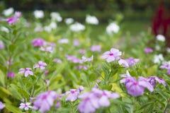 Catharanthus roseus G. Don. Stock Photo