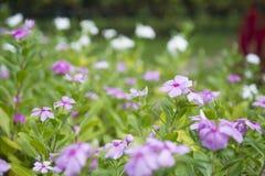 Catharanthus roseus G. Don. Stock Image