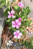 Catharanthus roseus garden. Royalty Free Stock Photo