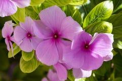 Catharanthus roseus, the Madagascar periwinkle flowering royalty free stock photos