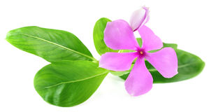 Catharanthus roseus or medicinal Nayantara Stock Photography