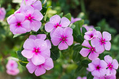 Catharanthus Roseus or Periwinkle Flower Stock Photos