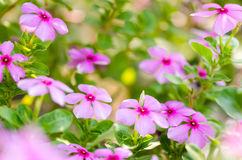 Catharanthus roseus or Periwinkle Stock Images