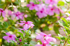Catharanthus roseus or Periwinkle Royalty Free Stock Photo