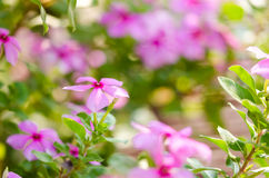 Catharanthus roseus or Periwinkle Royalty Free Stock Image