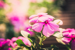 Catharanthus roseus or Periwinkle vintage Stock Photography