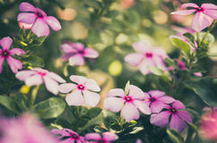 Catharanthus roseus or Periwinkle vintage Royalty Free Stock Photo