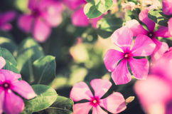Catharanthus roseus or Periwinkle vintage Stock Photos