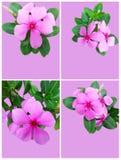 Catharanthus Roseus set Stock Photography